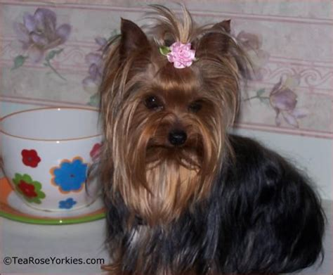 bows for yorkies hair 1000 images about yorkies are so adorable on pets pies and puppys