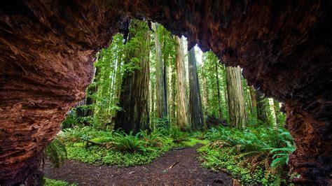 redwoods jedediah bing wallpaper