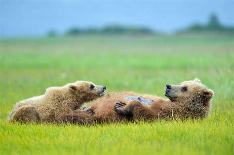 brown bear brown bear 0241137292 brown bear sow nursing her cub katmai national park