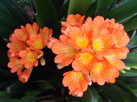 clivea miniata an easy care flowering houseplant hubpages indoor ornamental plant clivia miniata how ornament my eden