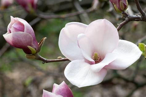 immagini magnolia fiore ootd of magnolias and pretty in pink my closet