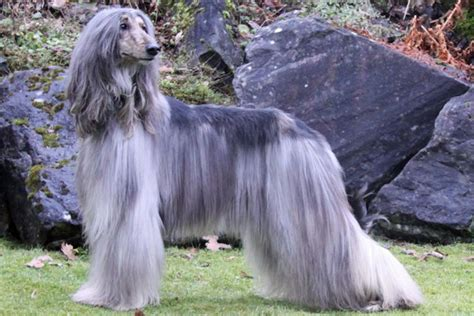 afghan hound puppies for sale afghan hound puppies for sale from reputable breeders