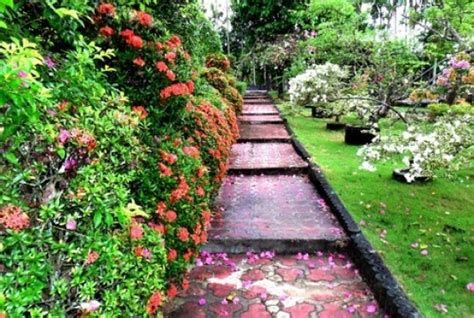Bibit Alpukat Pontianak taman bunga bukit bougenvile singkawang kalimantan barat