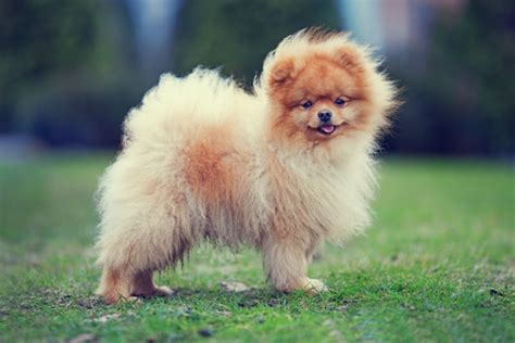 smallest pomeranian in the world 10 smallest breeds in the world wow amazing