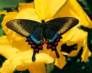 papillons wallpaper photo fond d 233 cran image fond