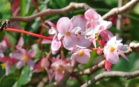 begonia fiore coltivare begonia piante da giardino begonia coltivazione