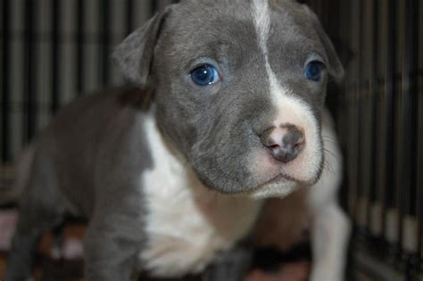 grey and white pitbull puppy white and grey pitbull pup with blue jpg 18 comments hi res 720p hd