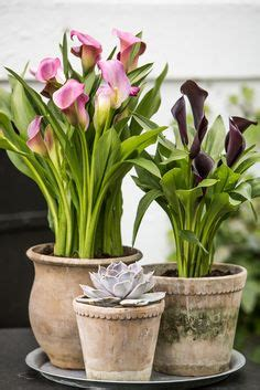 1000 images about calla on pinterest zantedeschia plants and plants indoor
