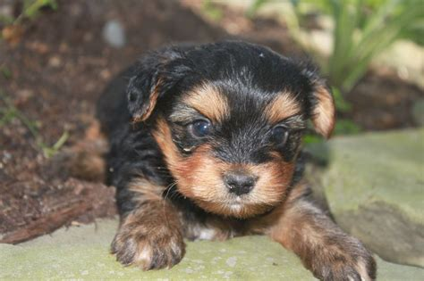 yorkies for sale in maryland pin by network34 on terrier puppies for sale in pa p