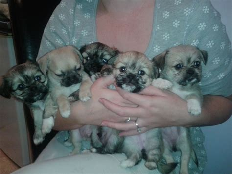 shi chi puppies beautiful shichi puppies for sale tewkesbury gloucestershire pets4homes