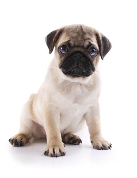 how many puppies can a pug pug pug pet insurance breed info