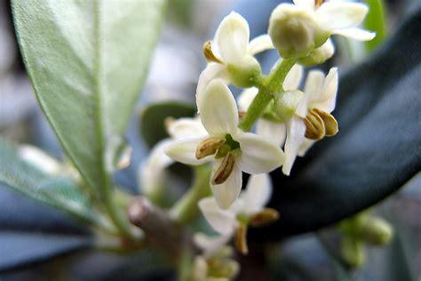fiore olivo fiori di bach olivecentro di bellezza belverde