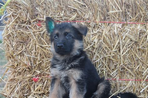 german shepherd puppy 6 weeks 6 week german shepherd puppy newhairstylesformen2014