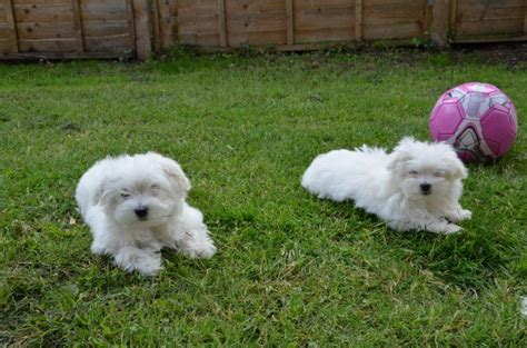 maltese puppies for sale dallas stunning pedigree maltese puppies for sale adoption from dallas adpost
