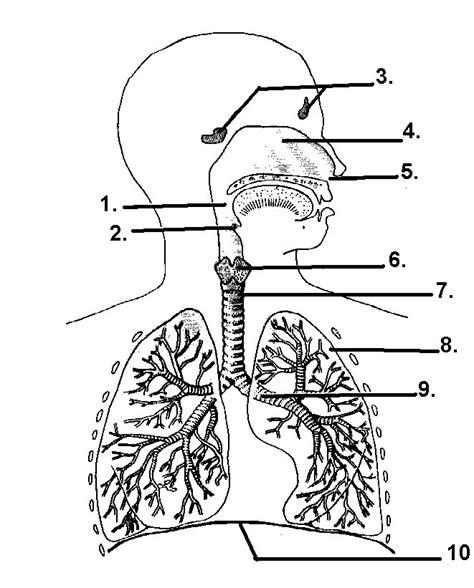 respiratory system unlabelled diagram respiratory system diagram quiz
