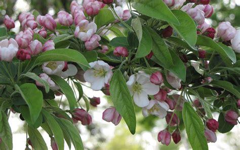 how to prune a flowering crabapple tree 171 margarite gardens