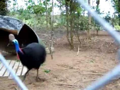 cassowary attacks youtube