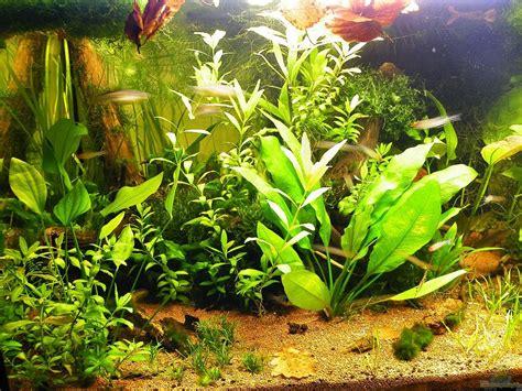 echinodorus tenellus di pot aquarium swantje thalmann vidaviva