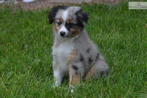 australian shepherd puppies kansas australian shepherd puppies for sale in kansas breeds picture