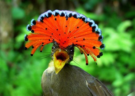 beautiful royal flycatcher beauty will save