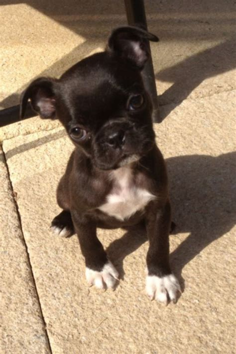 boston pugs possibly my next boston terrier pug mix called a bugg my style