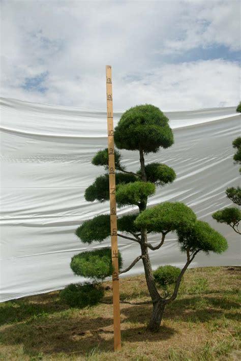 scotch pine topiary 187 scotch pine topiary tree 72 plants beautiful nursery
