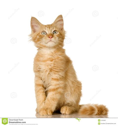 Ginger Cat Kitten Royalty Free Stock Photography   Image