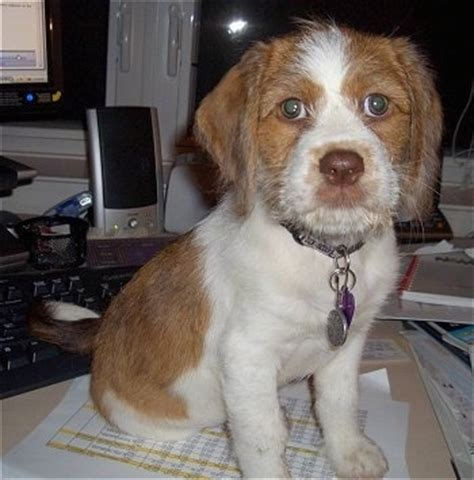 shih tzu st bernard mix mixed breed pictures with bios 15