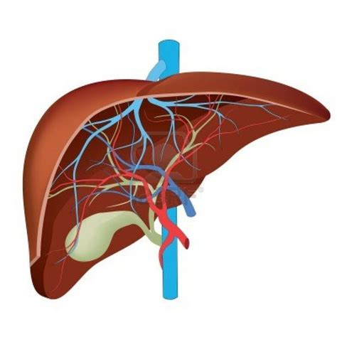 where is human liver located diagram hepatic images liver diagram for assignment human