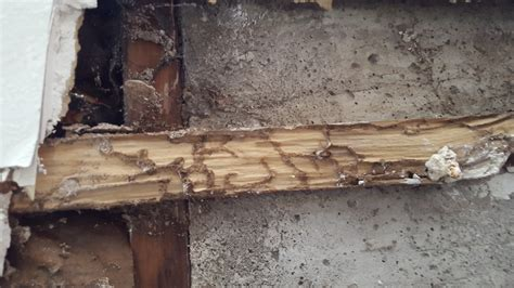Termites Drywall Paper by Are These Mud Tunnels From Termites Or Carpenter Ants