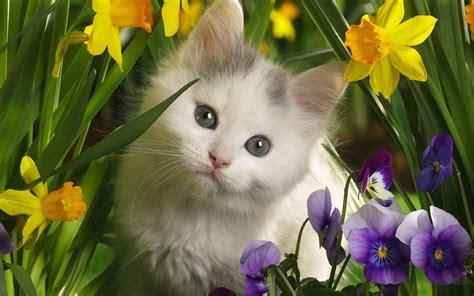 cute cat wallpaper zedge cute kitten kittens wallpaper 16096569 fanpop