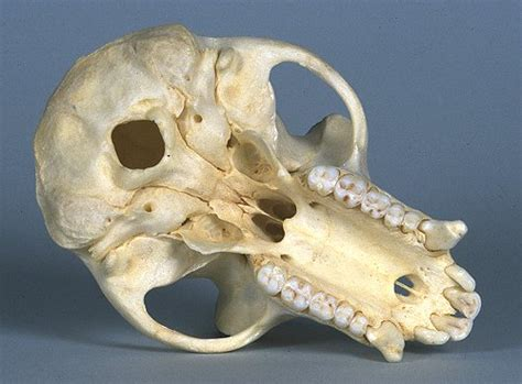 crab eating macaque skull