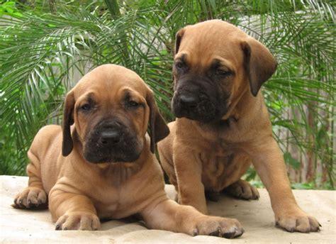 fila brasileiro puppies fila brasileiro all big breeds