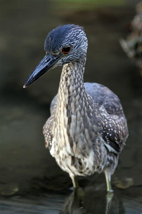 front side back juvenile juv back eating close ups close ups 2 flying juvenile yellow crowned night heron photograph by juergen roth
