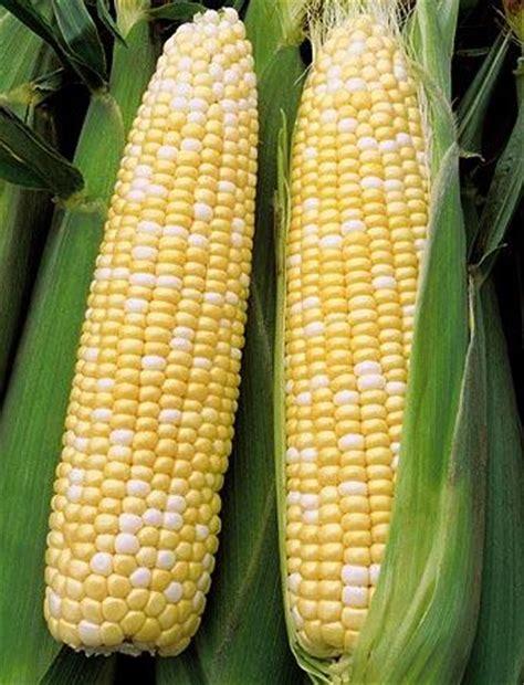 Best Seller Corn Pengupas Jagung bicolor corn jagung mutiara cameron perak end time 5 8