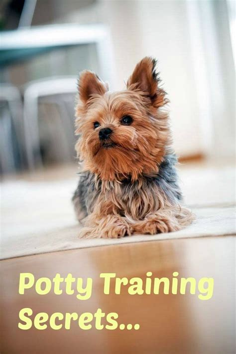 how to potty my yorkie 17 best images about terrier on interactive toys yorkie