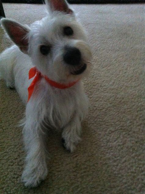 pictures of haircuts for westies dogs westie haircut
