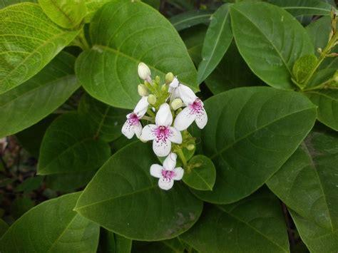 menanam melati jenis tanaman terbaru
