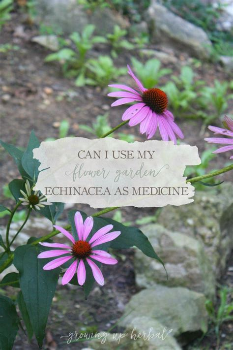 can i use my flower garden echinacea for medicine