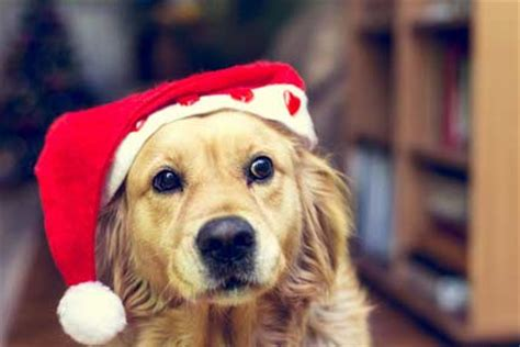 pictures  dogs  christmas season dog pictures