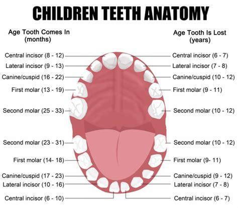 diagram teeth teeth diagrams diagram site