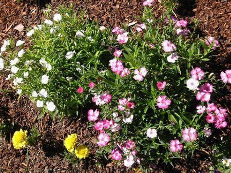 piante fiorite perenni per aiuole progettare il giardino realizzare un aiuola con le piante