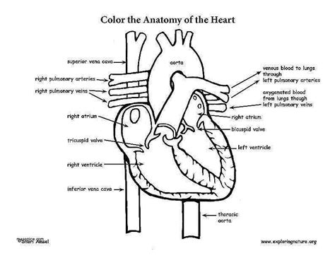 The Human Anatomy And Circulation Worksheet Answers