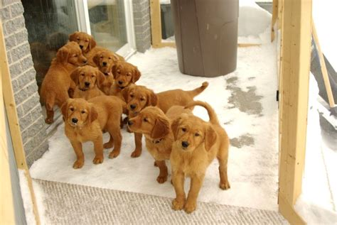 boston golden retriever breeders brown golden retriever puppies photo happy heaven