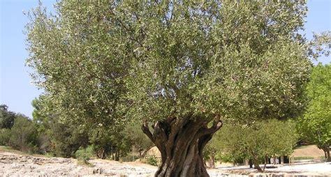 piante di ulivo da giardino ulivi olea europaea alberi ulivi alberi