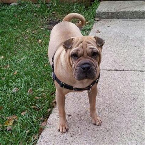 shar pei and pug mix my effie shar pei pug mix joey animals