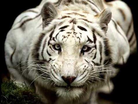 imagenes de jaguar blanco tigre blanco youtube