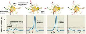 postsynaptic potential summation neurophysiology summation