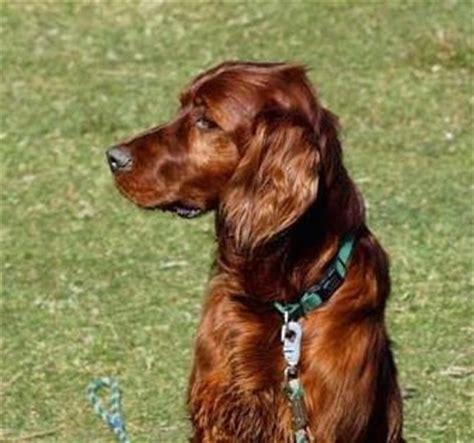 red setter dog rehoming irish red setter on pinterest irish irish setter dogs