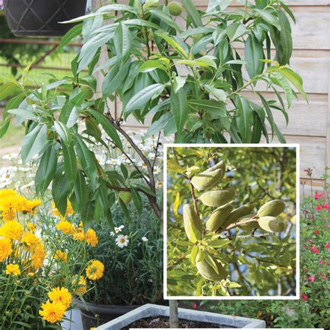 Patio Fruit Plants by Almond Sibley S Patio Fruit Tree D T Brown Fruit Trees